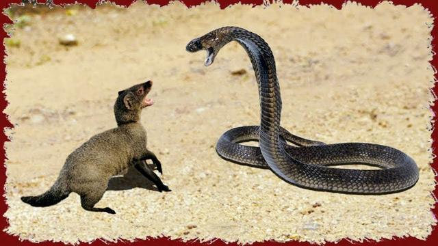 Mongoose Vs King Cobra Big Battle In The Desert Anaconda Cobra Leopard Mongoose Helan Tv