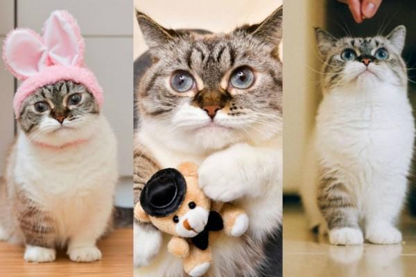 Munchkin Jenis Kucing Berkaki Pendek Yang Imutnya Gak Santai