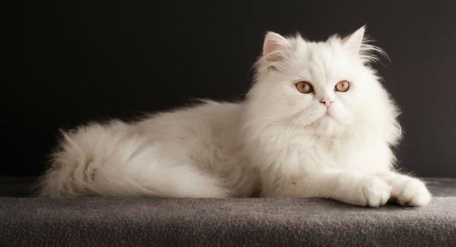 10 Kucing Peliharaan Terbaik Yang Sangat Cocok Dengan Iklim Di Indonesia